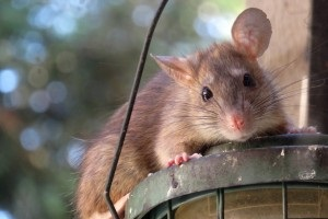 Rat extermination, Pest Control in Fulham, SW6. Call Now 020 8166 9746