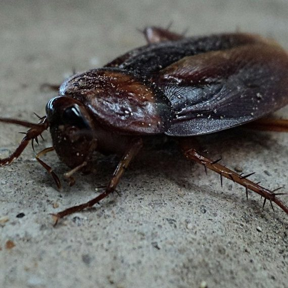 Cockroaches, Pest Control in Fulham, SW6. Call Now! 020 8166 9746